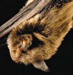 Indiana_Bat_FWS